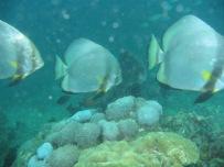 trifish
